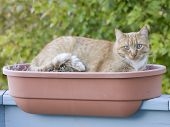 The orange cat rests in a planter. poster