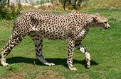 Full body of an adult cheetah walking on all fours over grass poster