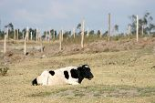 A black and white Hershey Cow lying in a farmers pasture chewing on grass in Cotacachi, Ecuador poster