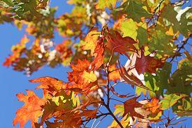 Colourful Autumn Leaves Against A Blue Sky