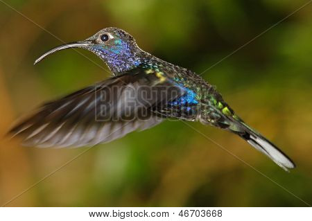 Violet Sabrewing hummingbird, from Costa Rica's cloud forest poster
