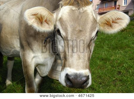 Hornless Cow