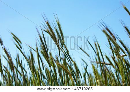 Closeup Of Ears Of Wheat On Blue Sky