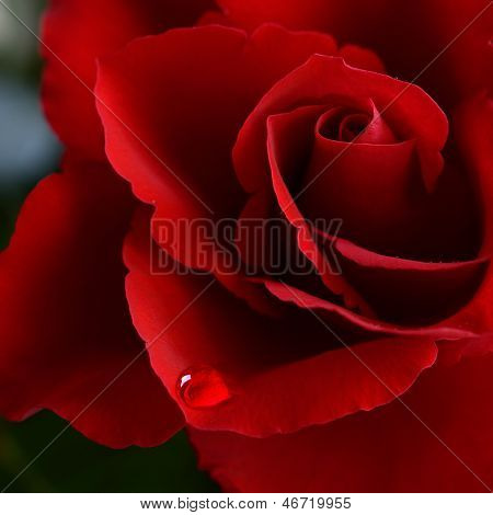 Valentine Rose With A Tear