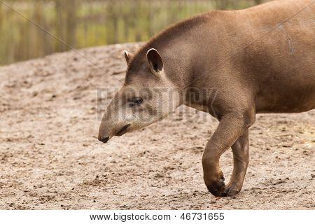 Profile Portrait Of South American Tapir