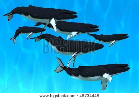 A pod of Humpback whales swim together on their annual migration to northern waters. poster