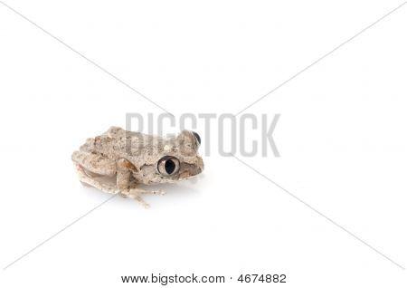 African Big Eyed Tree Frog (leptopelis)