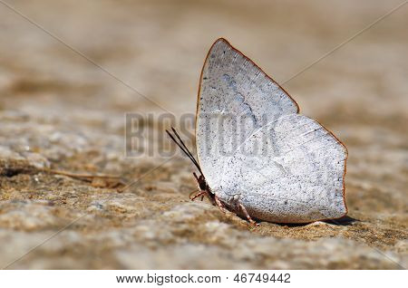 Butterfly(toothed Sunbeam)