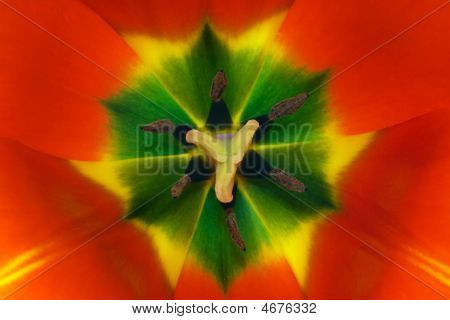Inside Red Tulip