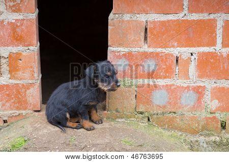 Small brown dachshund