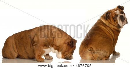 English bulldog sniffing at another dogs backside - animal behavior poster