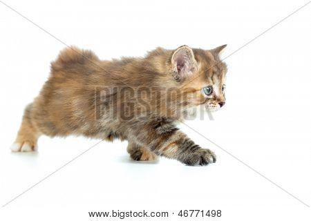 Kuril bobtail cat stealing