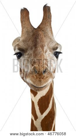 Close-up of a Somali Giraffe facing, Giraffa camelopardalis reticulata, (2,5 years old) isolated on white