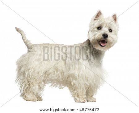 Side view of a West Highland White Terrier panting, 18 months old, isolated on white