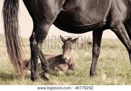 foal lies on a grass under a stomach of a mare poster