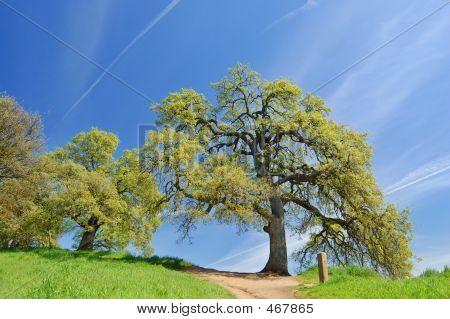 Oak Trees In Spring