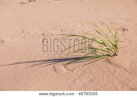Marram grass is a beach grass that grows on the shores of Prince Edward Island, Canada. The roots and rhizomes of marram grass form a living net, which helps hold the dune in place.