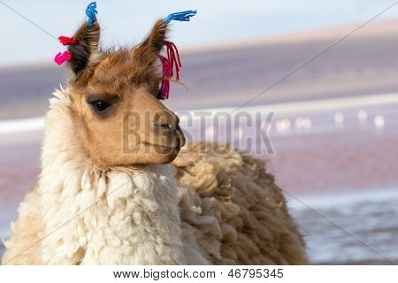 Lama On The Laguna Colorada, Bolivia