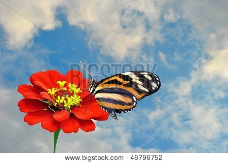 painted lady butterfly and Zinnia flower