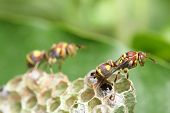 A wasp crawling on the nest over green leaf. poster