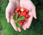 hands holding fresh berries on a green background close-up poster