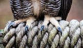 The Talons of a Great Horned Owl as it stands on a braided rope. poster
