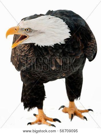 Close Up Portrait Of A Bald Eagle With An Open Beak .