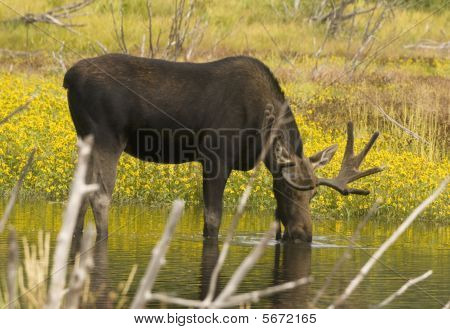 Image of bull moose drinking from stream in Grand Teton National Park poster