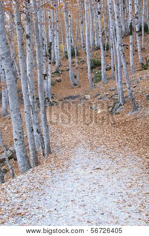 a forest road in autumn, Ordesa national Park, Spain