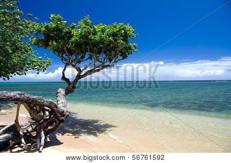 Beautiful small heliotrope tree cast a shadow over water at Anini beach North shore Kauai