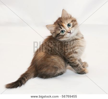 Tricolor Fluffy Kitten Sitting Head Cocked
