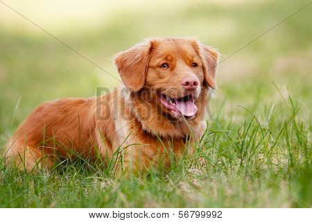 Brown Toller Dog