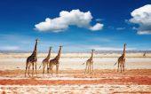 Herd of giraffes Etosha national park Namibia poster