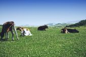 Cattle herd in mountains laying down on grass poster