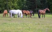 Herd of horses on a meadow near the forest poster