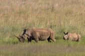 African White Rhino and calf walking through the grass in Pilanesberg nature reserve poster