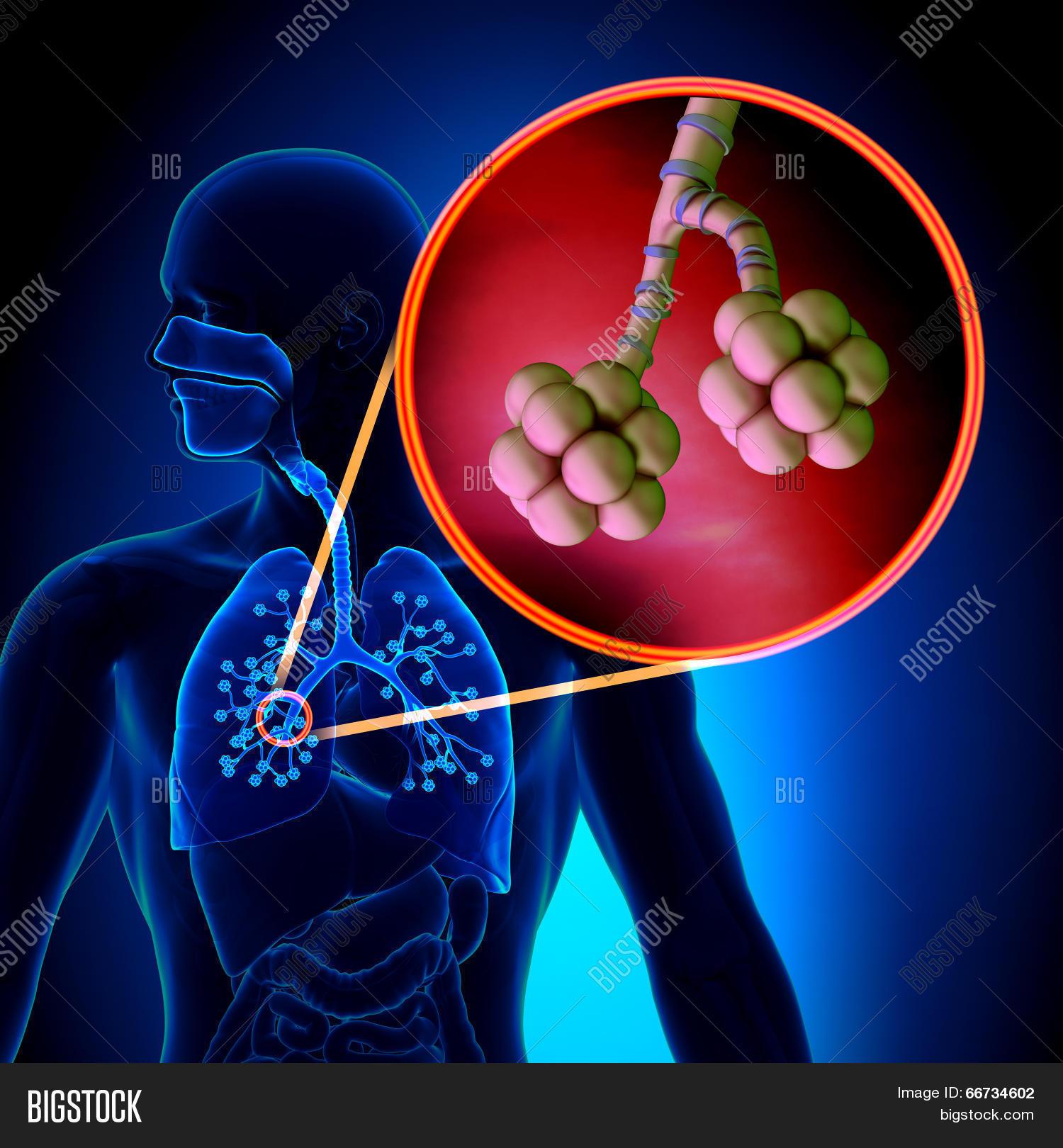 Lungs Alveoli - Human Image & Photo (Free Trial)   Bigstock