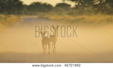 Impala - Wildlife Background from Africa - Tranquil Nature