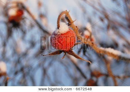Wild Red Rose Hip