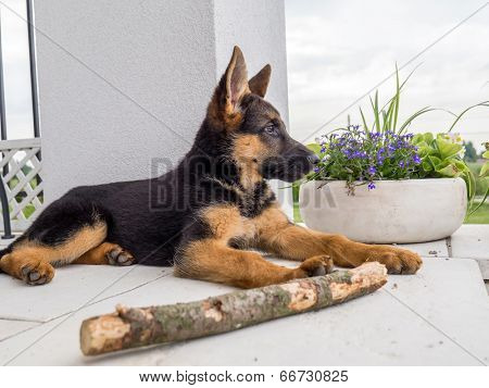 German shepherd puppy charging outside on the house porch