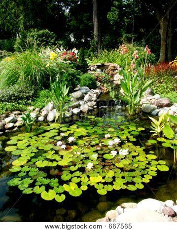 Water Lilies In Garden