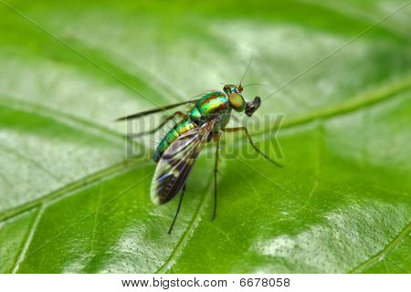 Close up of a long legged fly eating on green leaf. poster
