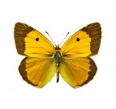 isolated moth - Clouded Yellow Colias croceus butterfly poster