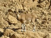 The Nubian ibex  is a rocky desert dwelling goat antelope found in mountainous areas of Israel poster
