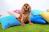 English cocker spaniel with pillows in room poster