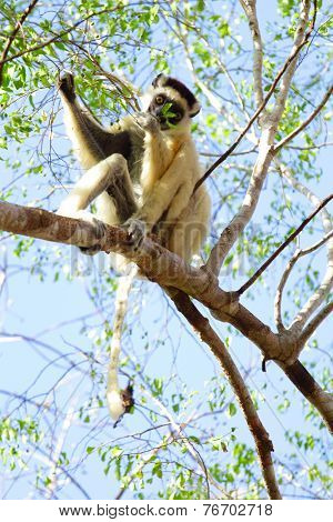 Endemic lemur golden-crowned sifaka (Propithecus tattersalli )eating leaves on the tree. Madagascar