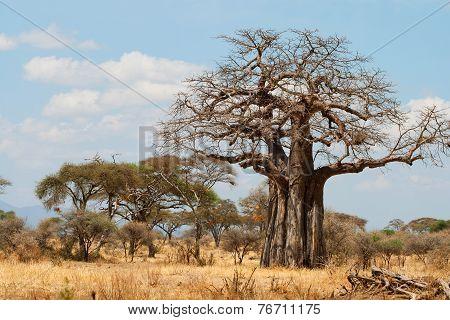 African Baobab Trees