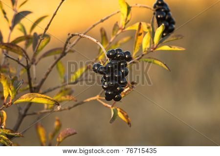 Privet berry