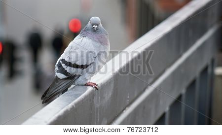 Some staring pigeon sitting on the rail