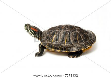 Red Eared Turtle On White